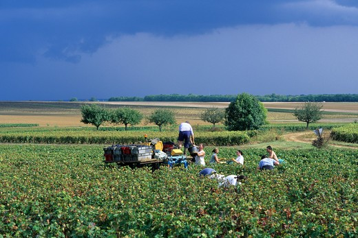 Stock Photo: 4285-6782 FRANCE BOURGOGNE GRAPE HARVEST VINEYARD GRAPE PICKERS AND  STORMY SKY