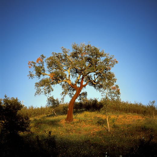 Stock Photo: 4285-7613 PORTUGAL ALENTEJO CORK OAKS TREE AT SUNSET