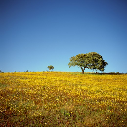 PORTUGAL ALENTEJO MEADOW WITH YELLOW FLOWERS AND OAK TREES AT SUNSET : Stock Photo