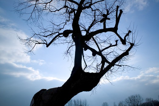Stock Photo: 4285-8422 FRANCE ALSACE SILHOUETTE OF A LEAFLESS LIME TREE AND CLOUDS IN WINTERTIME