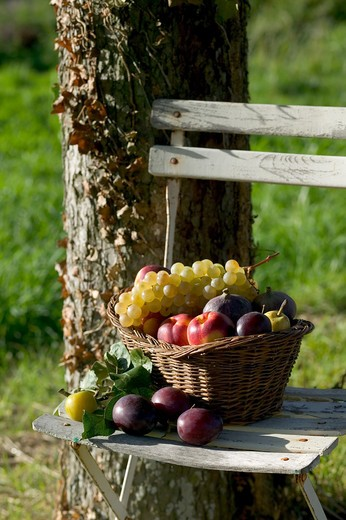 SEASONAL STILL LIFE WITH AN ASSORTMENT OF AUTUMNAL FRUITS IN A WICKER BASKET ON A WHITE GARDEN CHAIR : Stock Photo