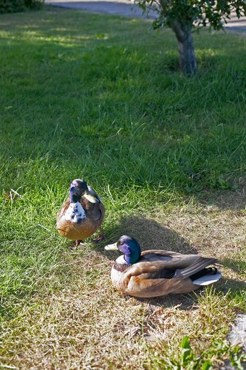 Stock Photo: 4285-9292 2 DUCKS COPENHAGEN DENMARK