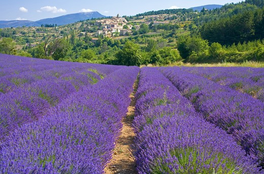 Stock Photo: 4285-9441 BLOOMING LAVENDER FIELD AND AUREL VILLAGE PROVENCE FRANCE