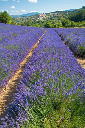 Stock Photo: 4285-9445 BLOOMING LAVENDER FIELD AND AUREL VILLAGE PROVENCE FRANCE