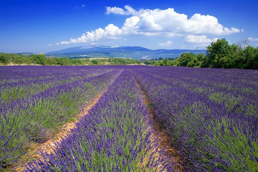 Stock Photo: 4285-9446 BLOOMING LAVENDER FIELD PROVENCE FRANCE