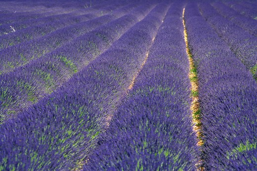 Stock Photo: 4285-9452 BLOOMING LAVENDER FIELD PROVENCE FRANCE