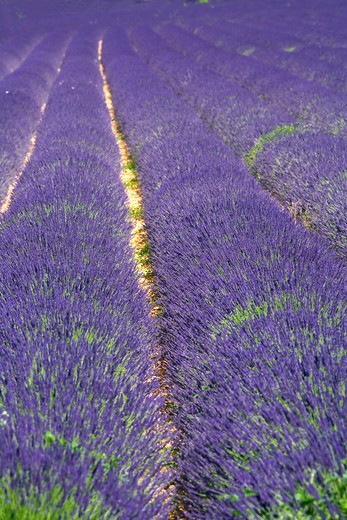Stock Photo: 4285-9453 BLOOMING LAVENDER FIELD PROVENCE FRANCE