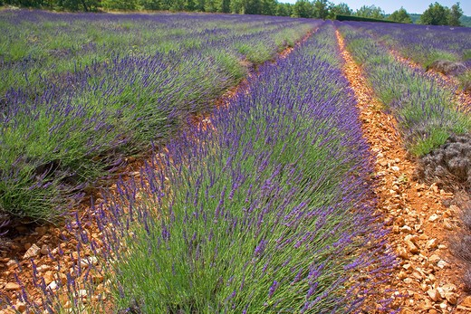 Stock Photo: 4285-9454 BLOOMING LAVENDER FIELD WITH RED EARTH PROVENCE FRANCE