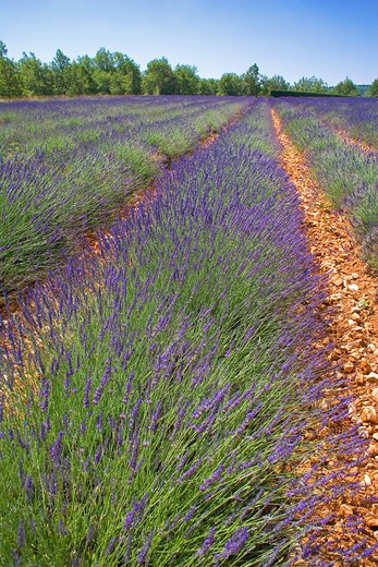 Stock Photo: 4285-9455 BLOOMING LAVENDER FIELD WITH RED EARTH PROVENCE FRANCE