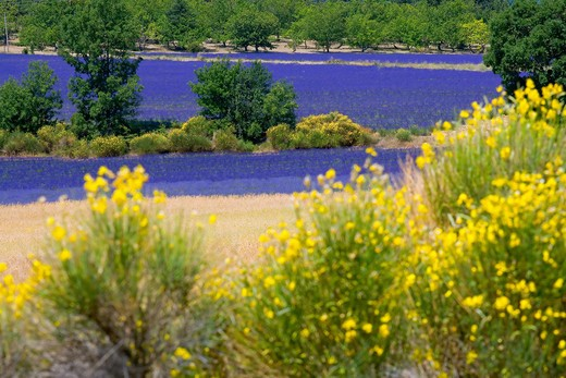 BLOOMING BROOMS AND LAVENDER FIELD PROVENCE FRANCE : Stock Photo