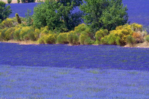 Stock Photo: 4285-9462 BLOOMING LAVENDER FIELDS AND BROOMS PROVENCE FRANCE