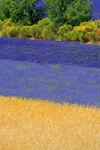 Stock Photo: 4285-9463 SPELT FIELD AND BLOOMING LAVENDER AND BROOMS PROVENCE FRANCE
