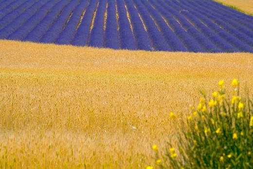 SPELT FIELD AND BLOOMING LAVENDER PROVENCE FRANCE : Stock Photo