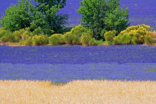SPELT FIELD AND BLOOMING LAVENDER AND BROOMS PROVENCE FRANCE : Stock Photo