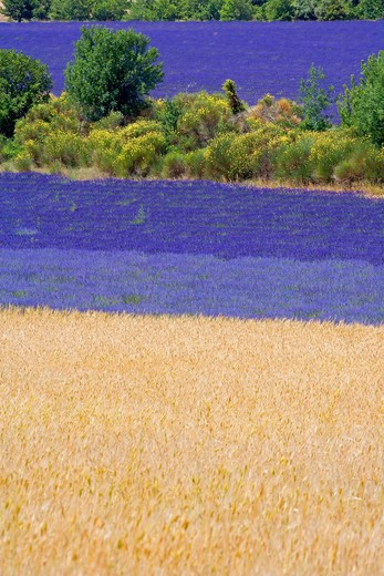 Stock Photo: 4285-9467 SPELT FIELD AND BLOOMING LAVENDER AND BROOMS PROVENCE FRANCE