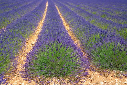 Stock Photo: 4285-9468 BLOOMING LAVENDER FIELD PROVENCE FRANCE