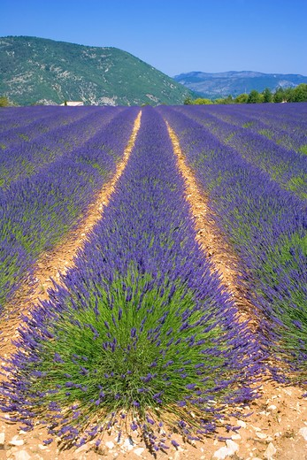 Stock Photo: 4285-9469 BLOOMING LAVENDER FIELD PROVENCE FRANCE
