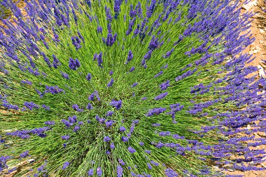 BLOOMING LAVENDER PROVENCE FRANCE : Stock Photo