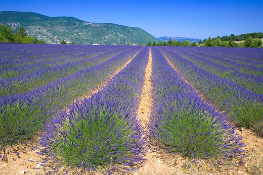Stock Photo: 4285-9471 BLOOMING LAVENDER FIELD PROVENCE FRANCE