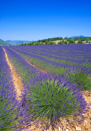 Stock Photo: 4285-9473 BLOOMING LAVENDER FIELD PROVENCE FRANCE