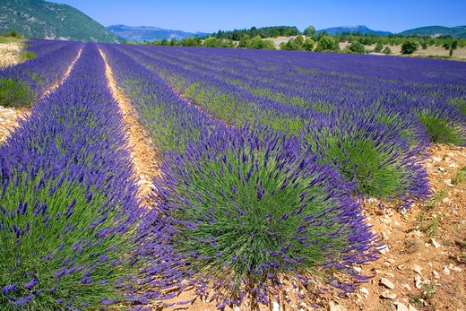 Stock Photo: 4285-9474 BLOOMING LAVENDER FIELD PROVENCE FRANCE