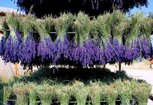 Stock Photo: 4285-9476 DRYING LAVENDER BUNCHES PROVENCE FRANCE
