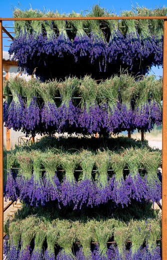 DRYING LAVENDER BUNCHES PROVENCE FRANCE : Stock Photo