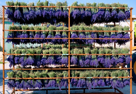 Stock Photo: 4285-9479 DRYING LAVENDER BUNCHES PROVENCE FRANCE
