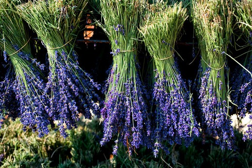 Stock Photo: 4285-9480 DRYING LAVENDER BUNCHES PROVENCE FRANCE