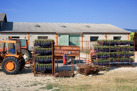 FARM FOR DRYING LAVENDER BUNCHES PROVENCE FRANCE : Stock Photo