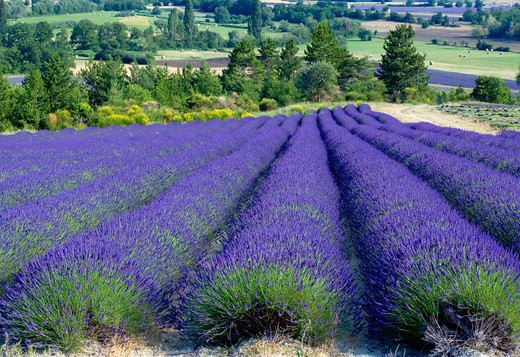 Stock Photo: 4285-9484 BLOOMING LAVENDER FIELD PROVENCE FRANCE