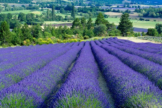 BLOOMING LAVENDER FIELD PROVENCE FRANCE : Stock Photo