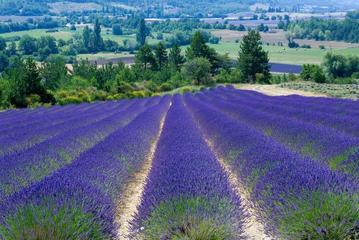 Stock Photo: 4285-9488 BLOOMING LAVENDER FIELD PROVENCE FRANCE