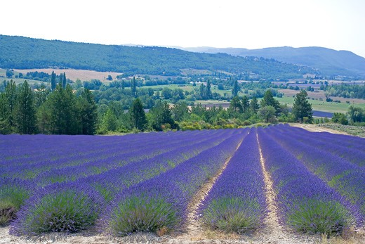 Stock Photo: 4285-9492 BLOOMING LAVENDER FIELD PROVENCE FRANCE