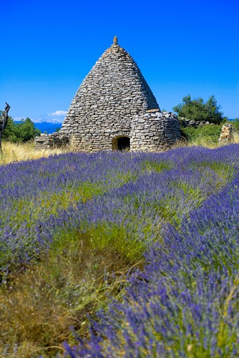 Stock Photo: 4285-9545 BLOOMING LAVENDER FIELD AND BORIE STONE SHELTER WITH WELL PROVENCE FRANCE