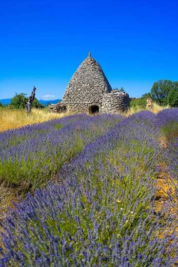 Stock Photo: 4285-9547 BLOOMING LAVENDER FIELD AND BORIE STONE SHELTER WITH WELL PROVENCE FRANCE