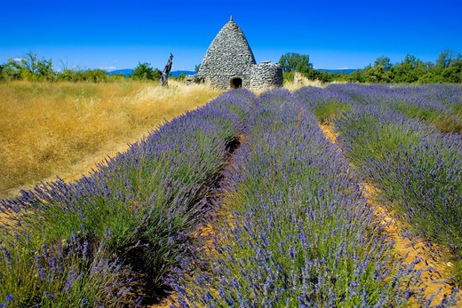 Stock Photo: 4285-9548 BLOOMING LAVENDER FIELD AND BORIE STONE SHELTER WITH WELL PROVENCE FRANCE