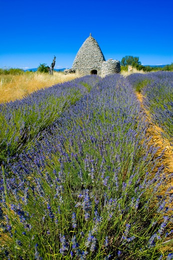 Stock Photo: 4285-9549 BLOOMING LAVENDER FIELD AND BORIE STONE SHELTER WITH WELL PROVENCE FRANCE