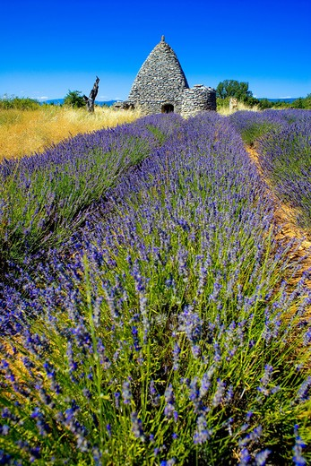 Stock Photo: 4285-9550 BLOOMING LAVENDER FIELD AND BORIE STONE SHELTER WITH WELL PROVENCE FRANCE