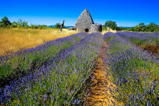 Stock Photo: 4285-9552 BLOOMING LAVENDER FIELD AND BORIE STONE SHELTER WITH WELL PROVENCE FRANCE