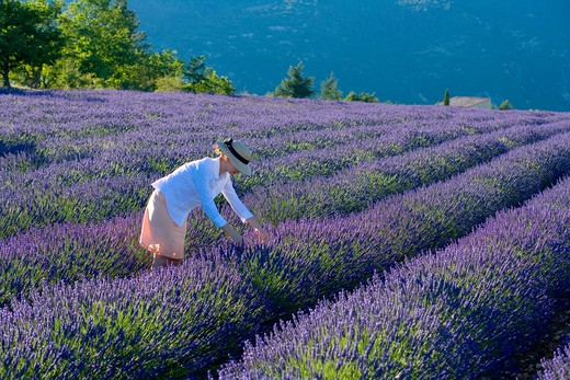 YOUNG WOMAN IN BLOOMING LAVENDER FIELD PROVENCE FRANCE : Stock Photo
