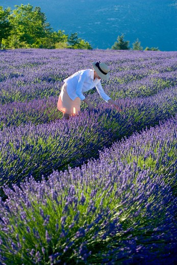 Stock Photo: 4285-9576 YOUNG WOMAN IN BLOOMING LAVENDER FIELD PROVENCE FRANCE