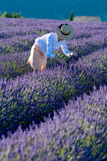 Stock Photo: 4285-9582 YOUNG WOMAN WITH BLOWN OFF HAT IN BLOOMING LAVENDER FIELD PROVENCE FRANCE