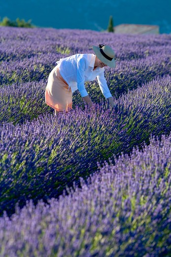 Stock Photo: 4285-9583 YOUNG WOMAN IN BLOOMING LAVENDER FIELD PROVENCE FRANCE