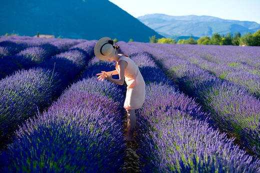 Stock Photo: 4285-9585 YOUNG WOMAN WITH BLOWN OFF HAT IN BLOOMING LAVENDER FIELD PROVENCE FRANCE