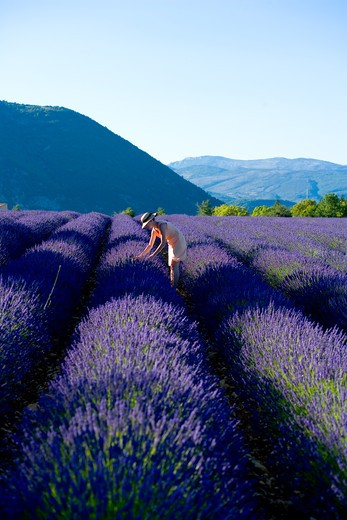 Stock Photo: 4285-9589 YOUNG WOMAN IN BLOOMING LAVENDER FIELD PROVENCE FRANCE