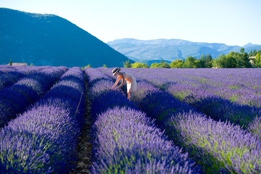 Stock Photo: 4285-9591 YOUNG WOMAN IN BLOOMING LAVENDER FIELD PROVENCE FRANCE