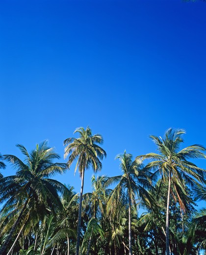 Stock Photo: 4285-9896 PALM TREES AND BLUE SKY GUADELOUPE FRENCH WEST INDIES