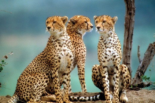 Stock Photo: 4286-16730 Cheetahs in Kenya, Africa.