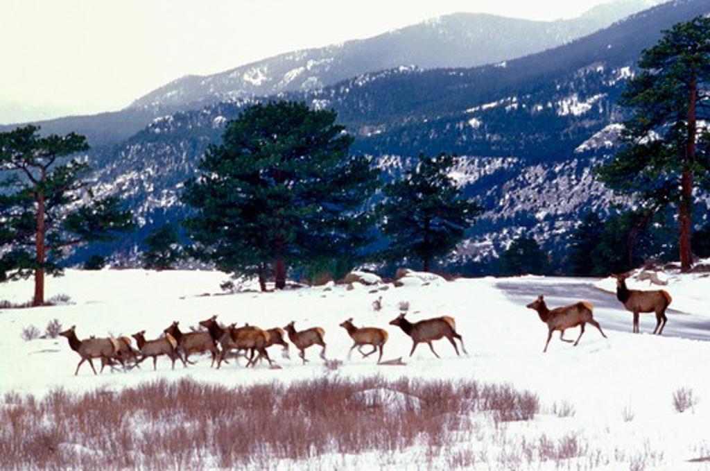 Stock Photo: 4286-17076 Elk in Colorado